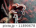 蛸 11890678
