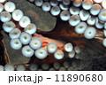 蛸の吸盤 11890680