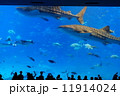 ジンベイザメ 美ら海水族館 ジンベエザメの写真 11914024
