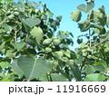 これから黒く熟し白い種を生むナンキンハゼの未熟な実 11916669