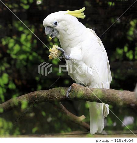 white sulphur crested cockatoo cacatua galeritaの写真素材 [11924054] - PIXTA