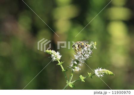 生き物 昆虫 ニッポンハナダカバチ、子供の餌にアブやハエを狩ります 11930970