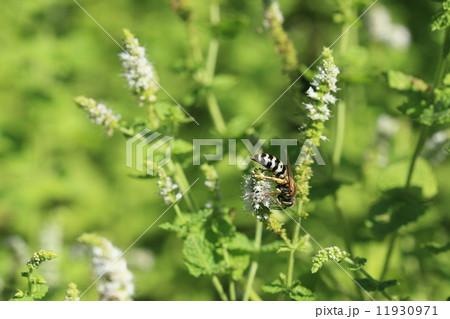 生き物 昆虫 ニッポンハナダカバチ、黒と白の縞模様の胴体に緑色の複眼をもつ美しいハチです 11930971