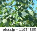 これから黒く熟し白い種を生むナンキンハゼの未熟な実 11934865