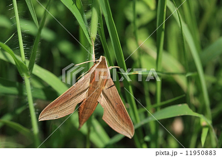 生き物 昆虫 コスズメ、ベージュの濃淡とオレンジ色の美しいスズメガです。『コ』とついていますが7cm位の大きさです 11950883