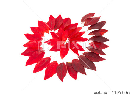 Red leaves isolatedの写真素材 [11953567] - PIXTA