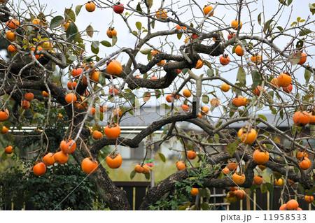 柿の木がある晩秋の風景 11958533