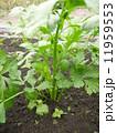 セロリ 野菜 食材の写真 11959553