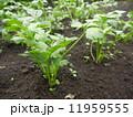セロリ 野菜 食材の写真 11959555