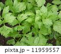 セロリ 野菜 食材の写真 11959557