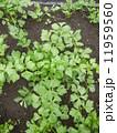 セロリ 野菜 食材の写真 11959560