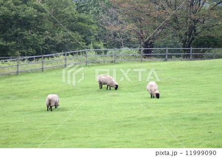 サフォーク種のヒツジ 11999090