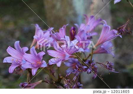 紫の彼岸花 12011605