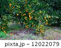 みかん 果樹園 蜜柑の写真 12022079