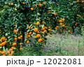 みかん 果樹園 蜜柑の写真 12022081
