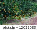 果樹園 蜜柑 みかんの写真 12022085