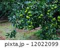 蜜柑 果樹園 みかんの写真 12022099