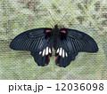 ナガサキアゲハ 12036098