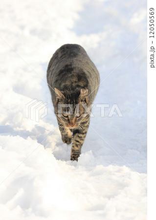 雪道をこちらに向かって歩いてくる猫 12050569