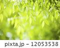新緑のケヤキの葉 12053538