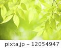 新緑のケヤキの葉 12054947