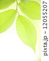 新緑のケヤキの葉 12055207