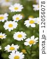 ノースポールの花 12056078