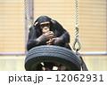 猿 動物 陸上動物の写真 12062931