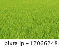 青田 12066248
