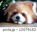 レッサーパンダのアップ写真 12079162