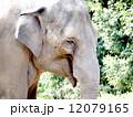 インドゾウの顔の写真 12079165