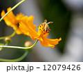 ミツバチとキバナコスモス 12079426