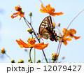 アゲハチョウとキバナコスモス 12079427