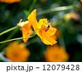 ミツバチとキバナコスモス 12079428