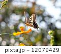 アゲハチョウとキバナコスモス 12079429