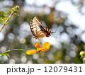 アゲハチョウとキバナコスモス 12079431