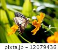 アゲハチョウとキバナコスモス 12079436