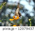 アゲハチョウとキバナコスモス 12079437