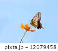 アゲハチョウとキバナコスモス 12079458
