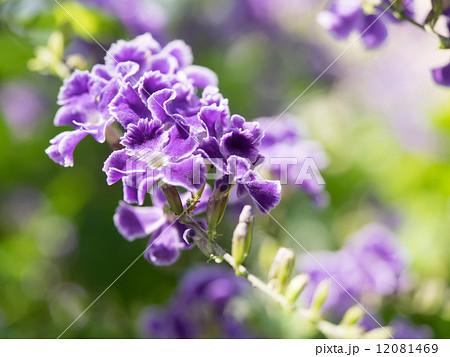 美しい紫のタイワンレンギョウ 12081469
