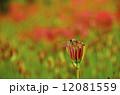 赤トンボ 曼珠沙華 彼岸花の写真 12081559