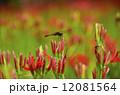 曼珠沙華 赤トンボ 彼岸花の写真 12081564