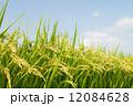 田んぼ 水田 稲穂の写真 12084628