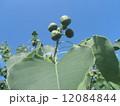 これから黒く熟し白い種を生むナンキンハゼの未熟な実 12084844