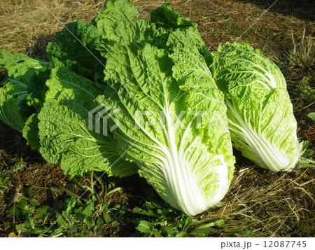 冬が旬の白菜の写真素材 [12087745] - PIXTA