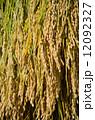 稲の天日干し 12092327