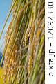 稲の天日干し 12092330