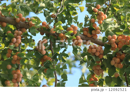 自然 植物 イチョウ、オレンジ色の銀杏がたわわに実り、緑色の葉とのコントラストがきれいです 12092521