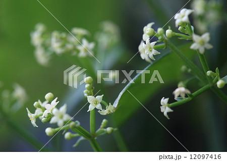 自然 植物 アカネ、花びらは普通5裂でたまに6裂があるようですが4裂も見つけました 12097416