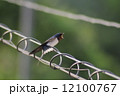 ツバメ 小鳥 鳥の写真 12100767